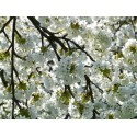 Bougie Parfumée Fleur de Cerisier XL 2 mèches