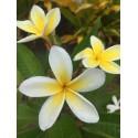 Fondants Parfumés -Fleur de Tiaré