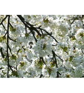 Bougie Parfumée Fleur de Cerisier
