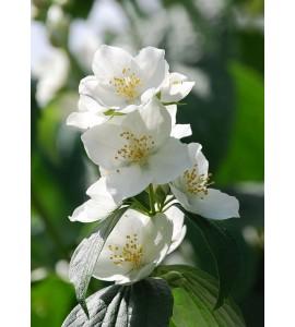 Fondants Parfumés - Fleur d'Oranger