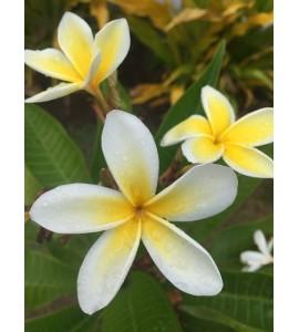 Parfum d'ambiance Fleur de Tiaré